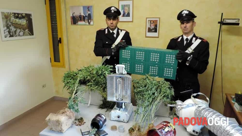 Coltiva marijuana indoor a piove di sacco arrestato - Mercatino piove di sacco ...