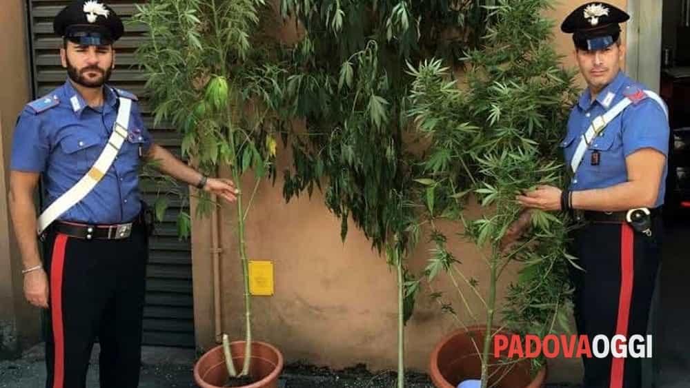 Coltiva piante di marijuana nel giardino a Montagnana
