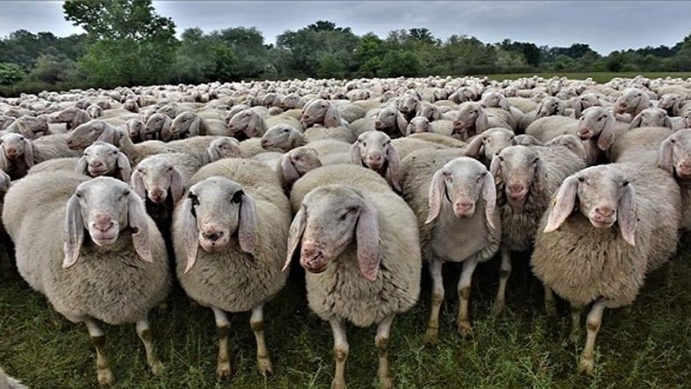 Pecore in Prato della Valle per la